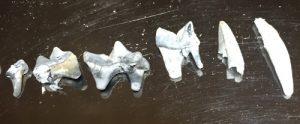 歯の骨 猫