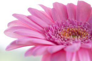 ガーベラ、花は骨に色がつく?